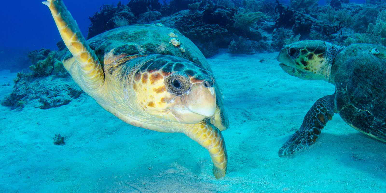 A pair of turtles on the Caribbean sea bed.