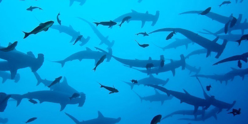 Shark Diving Trips in Maldives | Dive Worldwide