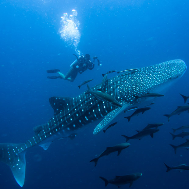 with a whale shark in the Maldives Experience the annual whale shark ... Whale Shark Size