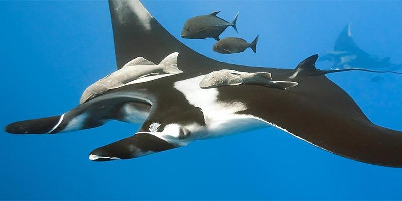 Giant manta rays.