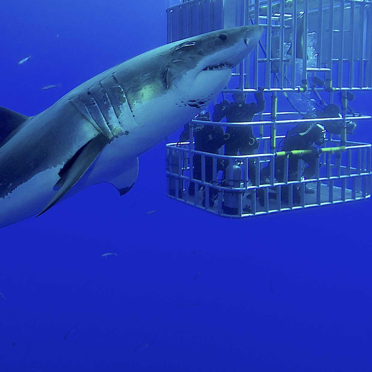 Image result for Shark Cage Diving