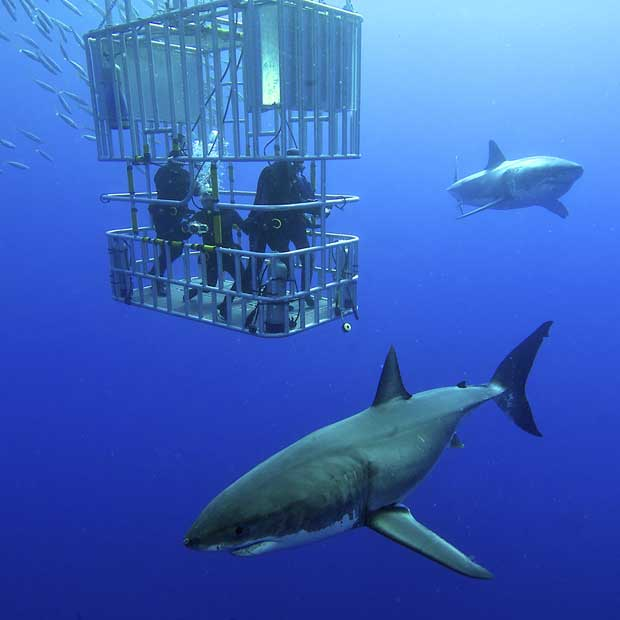 Great White Shark Diving Holidays | Dive Worldwide