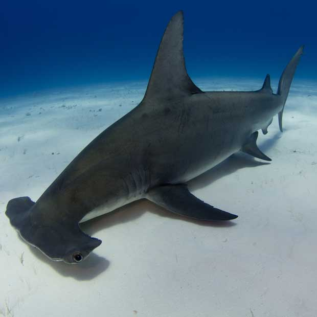 Diving with Hammerheads | Dive Worldwide