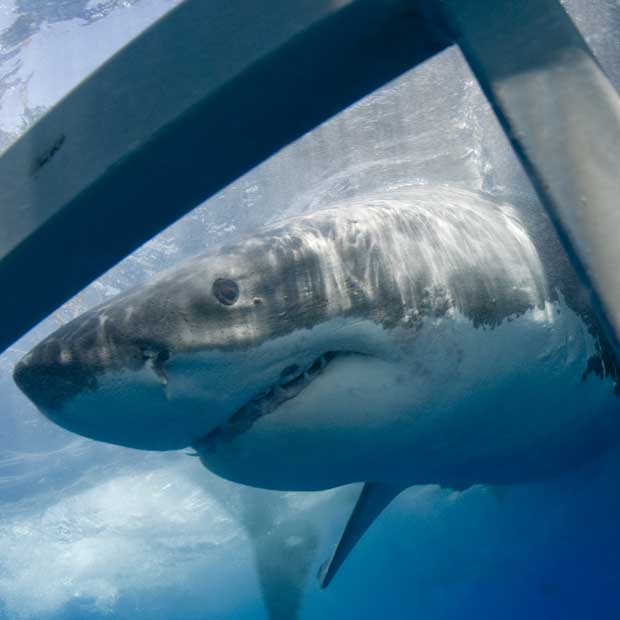 Cage Dive With Great White Sharks In South Africa Australia Or Mexico
