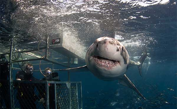 Top 10 Best Places To Swim With The Sharks | Adventure Swim, Image result for Neptune Islands, Australia