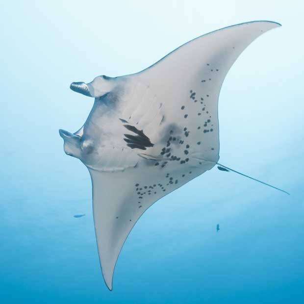 Diving with manta rays dive worldwide for Types of ray fish